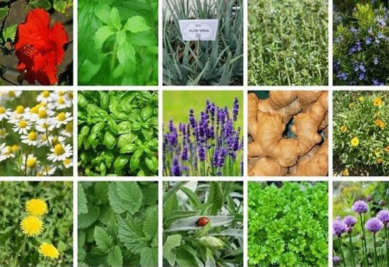 گیاهان دارویی؛ صنعت فراموش شده در کهگیلویه و بویراحمد